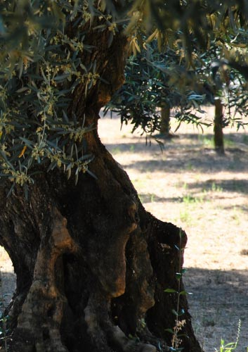 Olive groves in Calabria, Oro Don Vincenzo