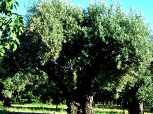 Carolea cultivar trees