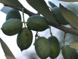 Carolea cultivar olives