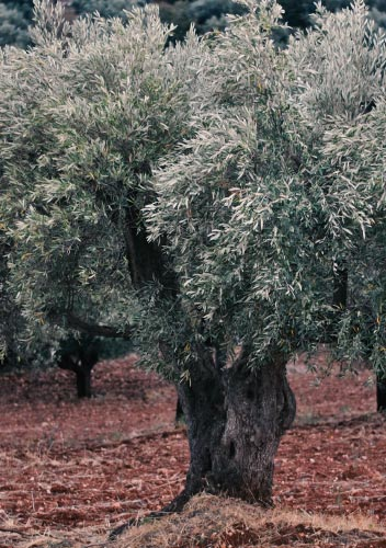 Uliveti in Calabria, Oro Don Vincenzo